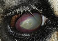 Mycoplasma Bovoculi