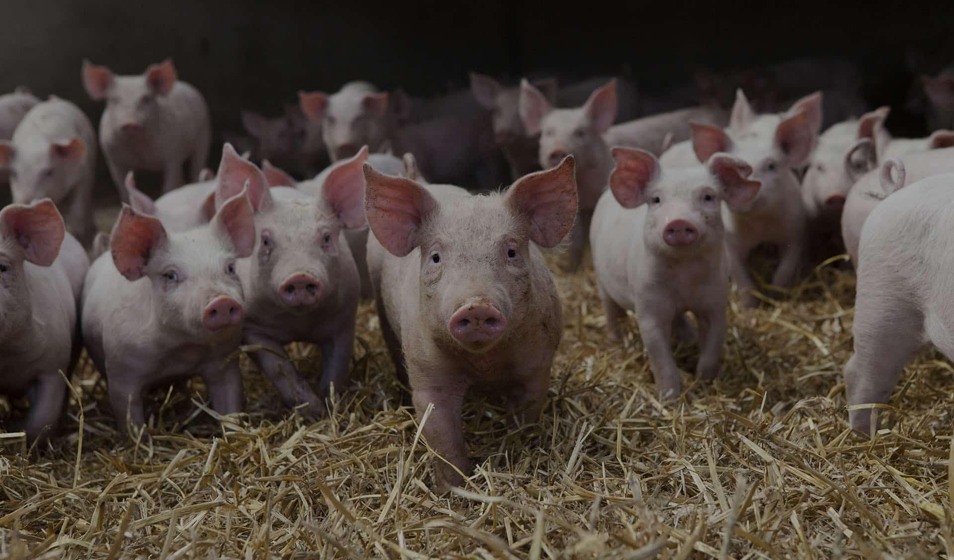 Swine Health