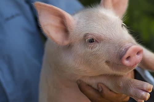 Swine sample